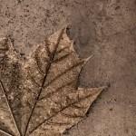 One Leaf – December 1st