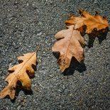 Three Oak Leaves